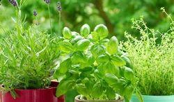 Geeft verse basilicum kans op voedselinfecties?