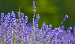 Lavendelkip